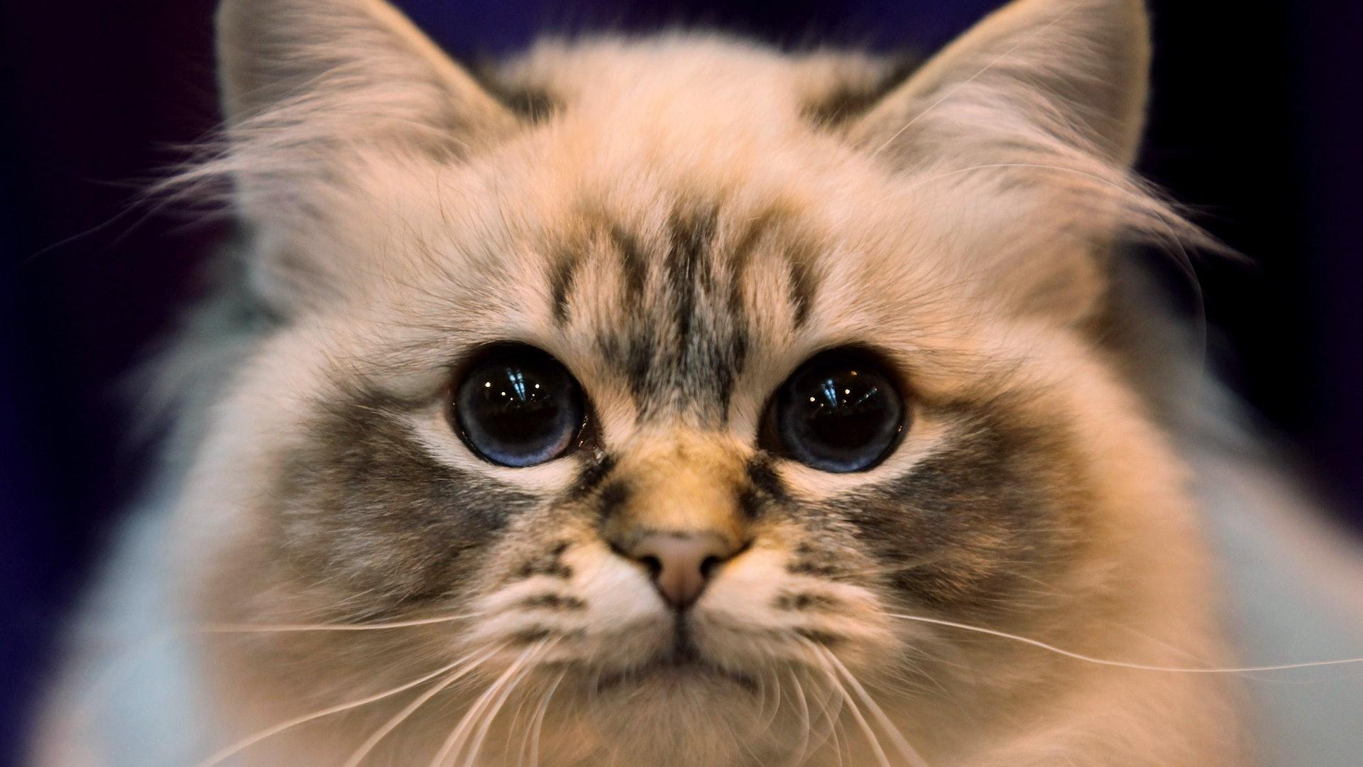 High Energy Cat Breeds