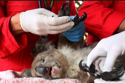 A koala saved from bushfires is treated. The bushfires are estimated to have killed one billion animals and rendered several species extinct.