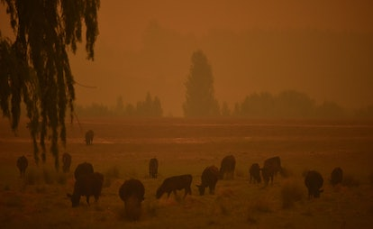 Animals graze in bushfire smoke. There are valuable lessons for other countries from the bushfire crisis, including much more radical efforts to curb emissions.