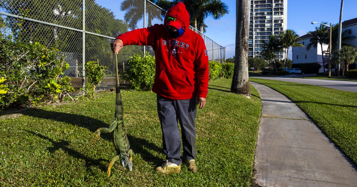 Why do iguanas freeze in the winter?