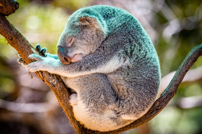 A koala curls up and sleeps in a tree. Over 8,000 koalas have been killed in the Australian bushfires, but you can help save injured koalas.