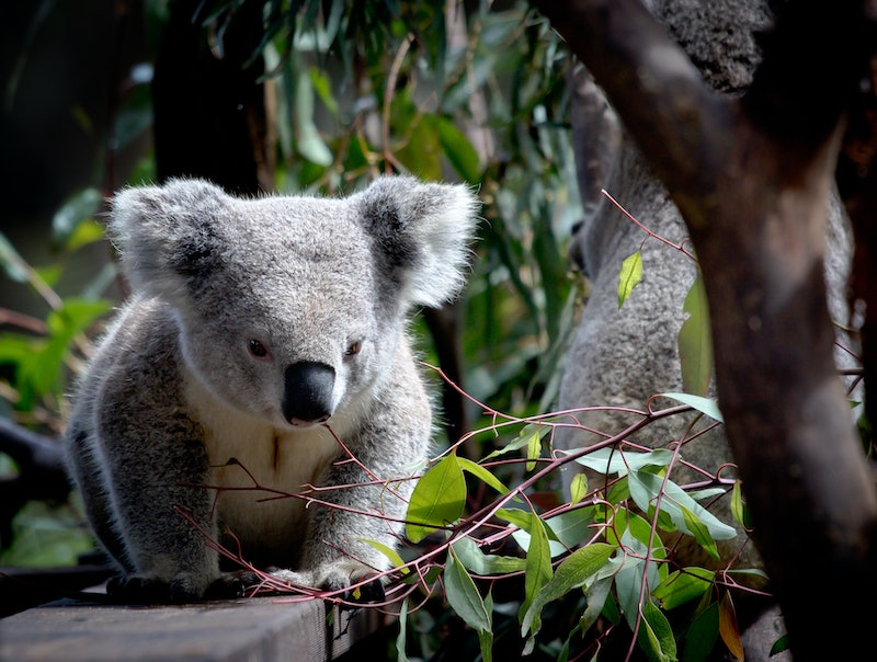 A koala stands on a ledge in a tree top. Nearly 500,000 animals have been killed in Australian wildfires, but you can help with the relief efforts.