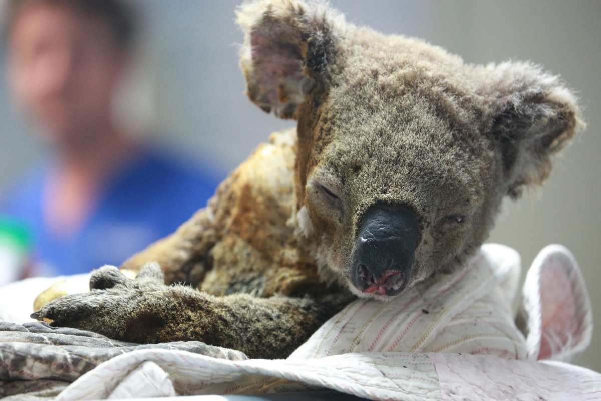 Here's How To Help The Animals In Australia that have been affected by the bush fires. Your donation helps animals like koalas.