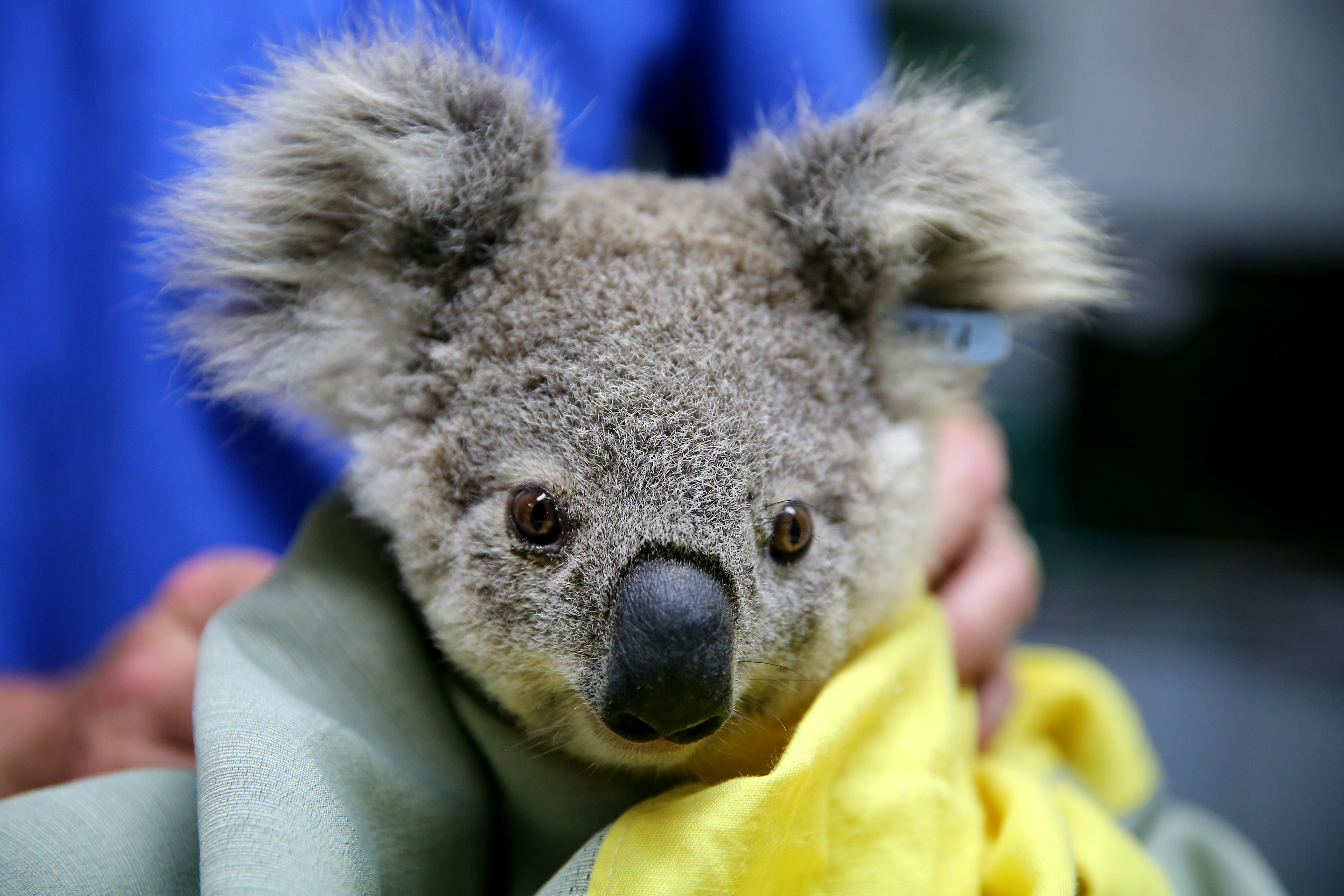 How To Help Save Australia S Koalas After Thousands Died In The Fires