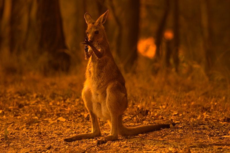 Here's how to help kangaroos impacted by the Australia bushfires.