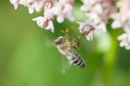 A bee pollinates a flower against a green background. You might want to avoid ordering almond milk t...