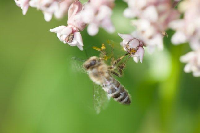 A bee pollinates a flower against a green background. You might want to avoid ordering almond milk to avoid environmental harm, including bee death.
