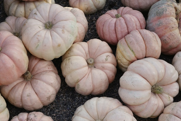 Light pink pumpkins sit in a pile at a farm.