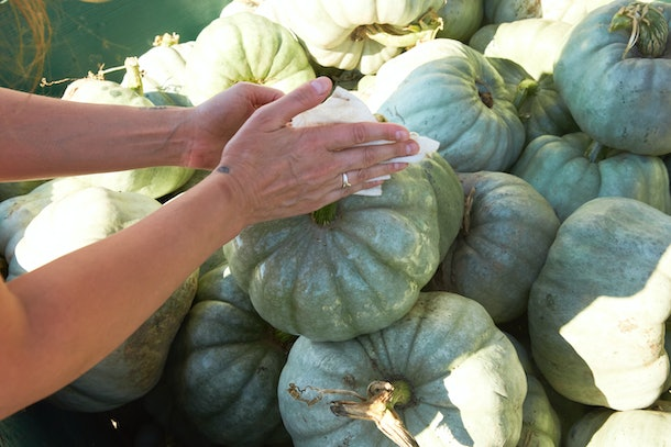A woman grabs a blue pastel pumpkin from a patch.