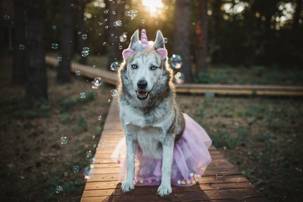 A husky dressed up in a unicorn costume sits on a boardwalk in the woods and poses for a picture.