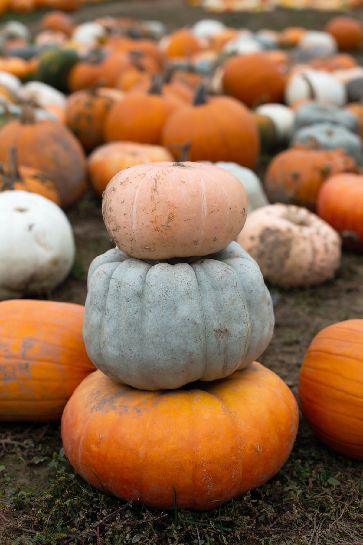 A pumpkin patch. Eating seasonal foods is a historic tradition.