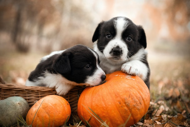 Two puppies pose on some pumpkins in a yard that's covered with leaves in the fall.