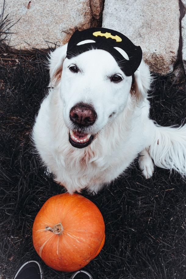 A golden retriever poses next to a pumpkin while wearing a Batman mask on Halloween.