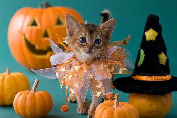 A kitten wearing a Halloween costume stands next to some mini pumpkins.