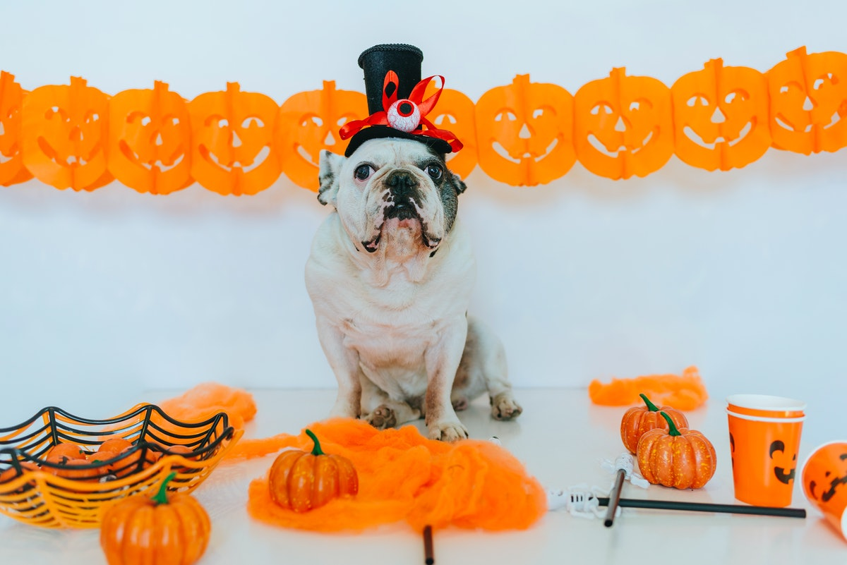 A dog with a top hat on sits on a table with plastic pumpkins and Halloween decor.