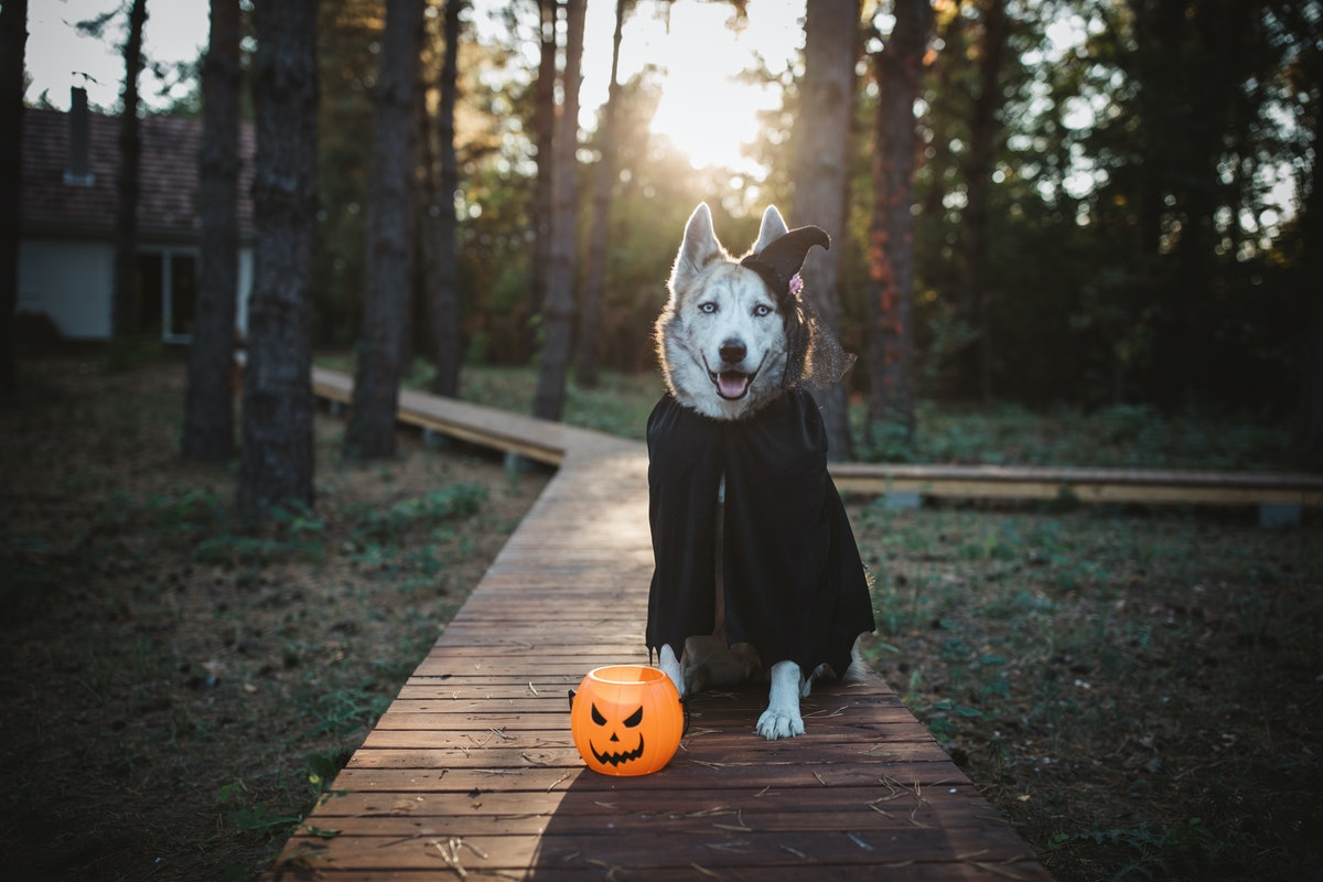 A husky wearing a witch's hat and black cape sits on a walkway next to a plastic jack-o-lantern.