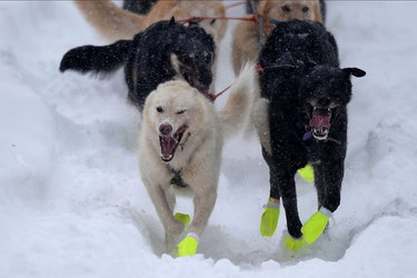 dogs competing in the iditarod