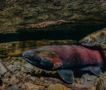 A pair of coho salmon can be seen at the bed of a river.