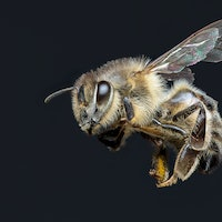 Honey bees in Vietnam have one poopy defense against murder hornets