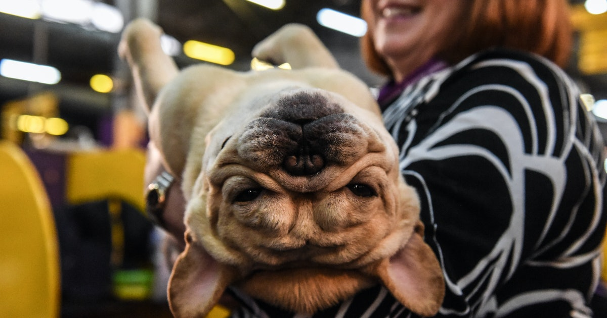 The calming pleasures of watching the Westminster Dog Show on YouTube