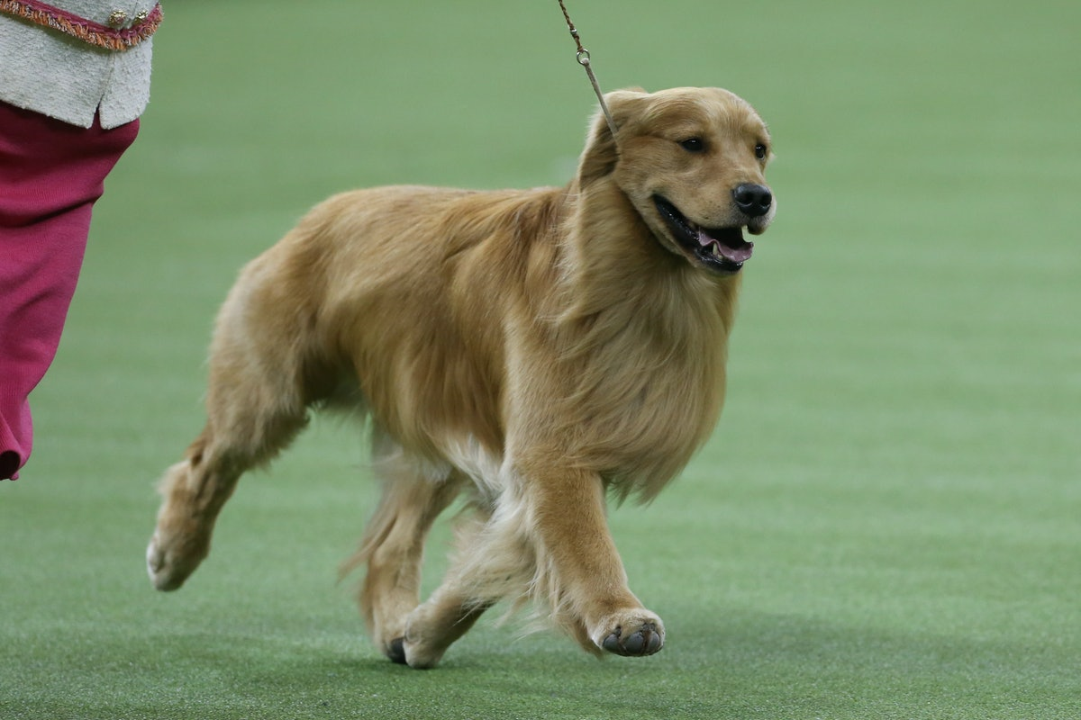 The tweets about Daniel the Golden Retriever at The Westminster Dog Show are supportive AF.