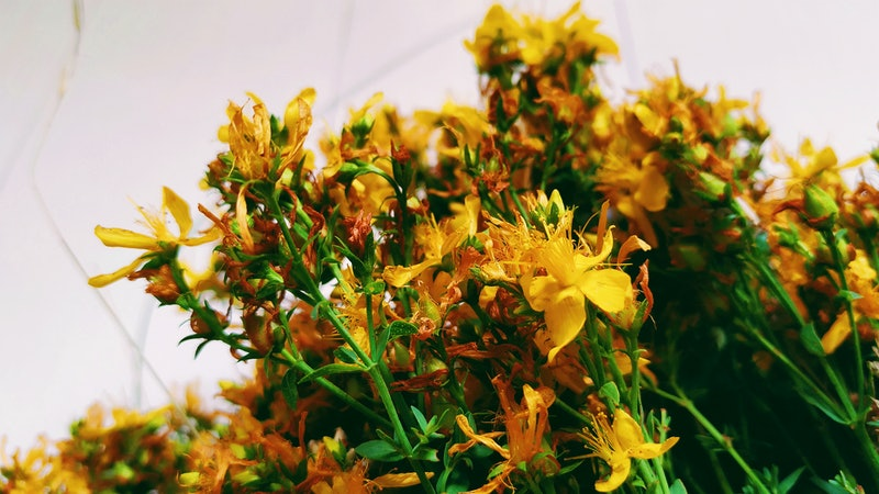 St John's wort in a bunch. This herbal remedy has been used to help depression symptoms, but doctors say you need to know about its interactions before you use it.