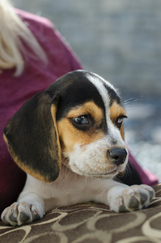 Beagles can be gentle dogs that are great for families.