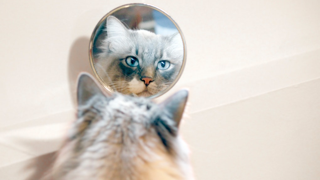 These tweets about Roscoe the cat's mirror pic feature hilarious cat owner responses.
