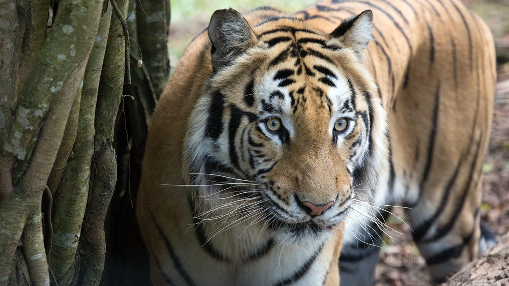 It's so easy to use Google's 3-D animal feature to explore tigers, lions, and more.