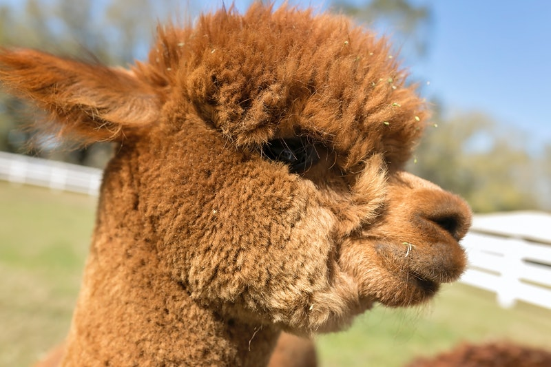 How To Invite A Llama And Other Farm Animals To Your Next Zoom Meeting