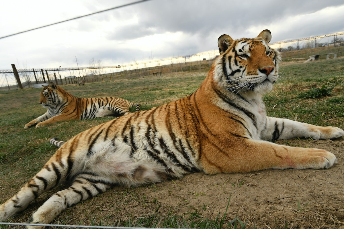 """Tigers held in captivity is a huge problem in the united states, brought to light by the docuseries """"Tiger King"""""""