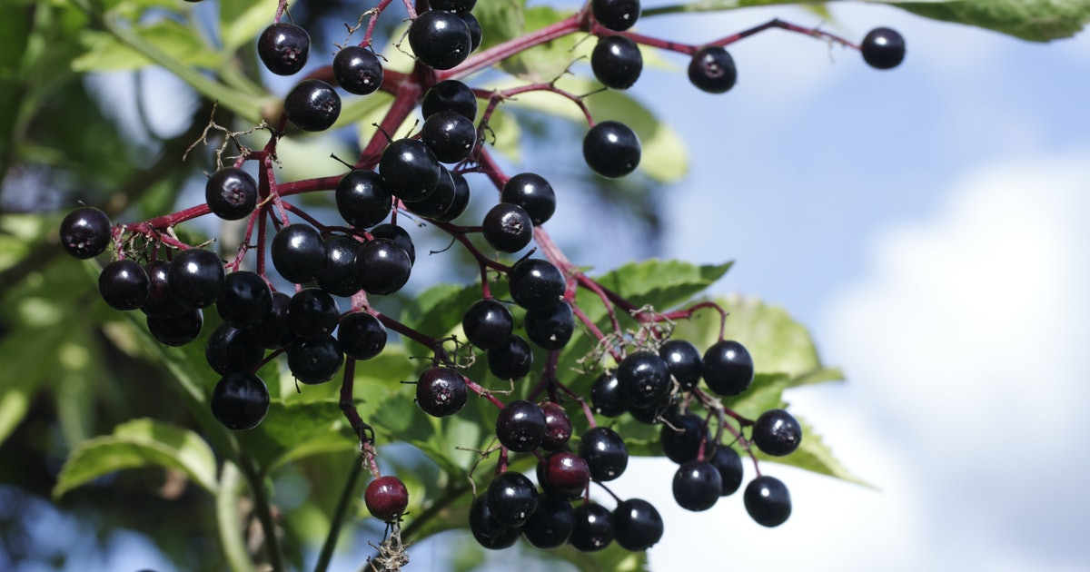 What exactly is elderberry and can it actually help fight viruses?