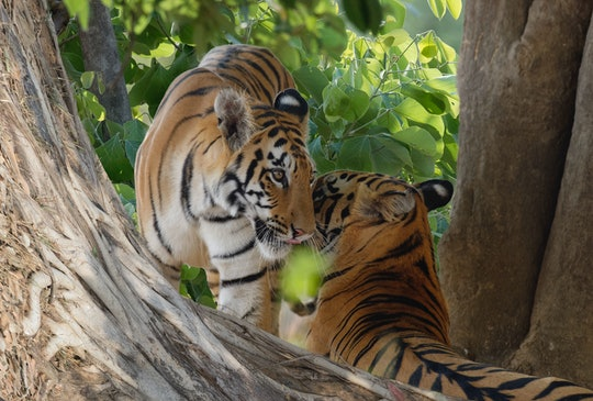 tigers in wild