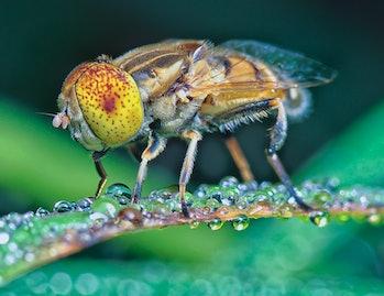 Fruit flies are crucial for scientific studies.