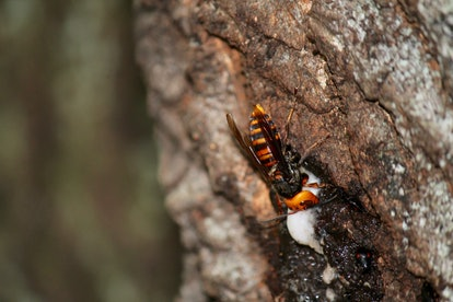 An Asian giant hornet looks out from a nest. The species is aggressive towards bees and other pollinators and insects.