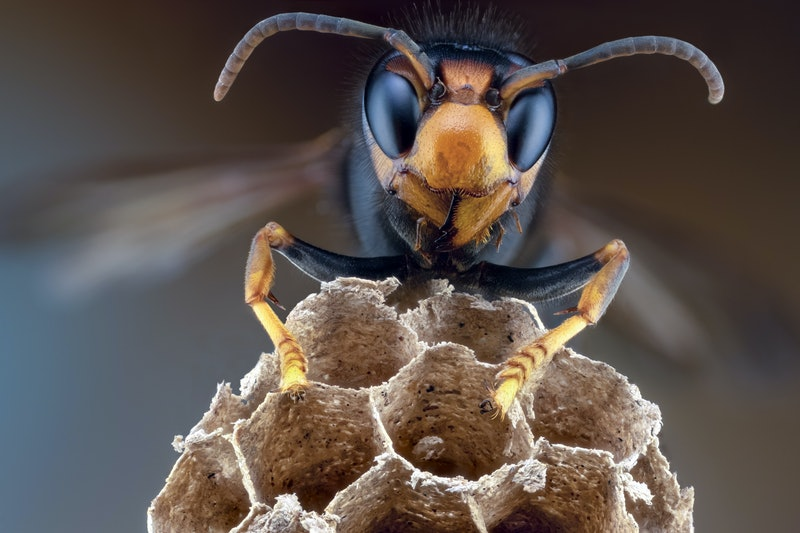 An Asian giant hornet on top of a piece of honeycomb. These hornets have been discovered in the US for the first time, but it's not time to panic yet, according to entomologists.