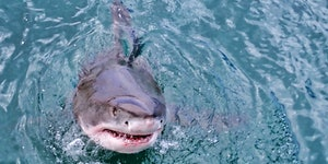 Test your great white shark knowledge with a 5-question quiz