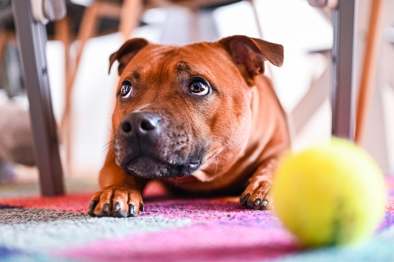 A brown dog lays on their belly in front of a tennis ball and looks up at their human, off-camera. Working out with your dog can help you get great exercise while bonding with your pup.
