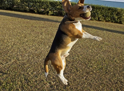 A dog catches a tennis ball. Playing catch is a great workout to do with your dog.