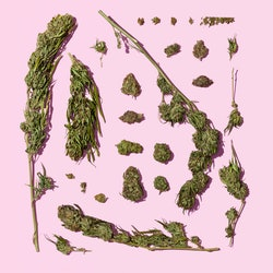 Cannabis stems on a pink background. Here's what happens in your body when you smoke weed.