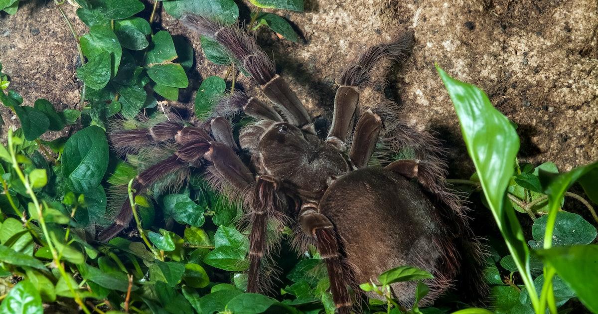 Got IBS? This huge bird-eating tarantula could help