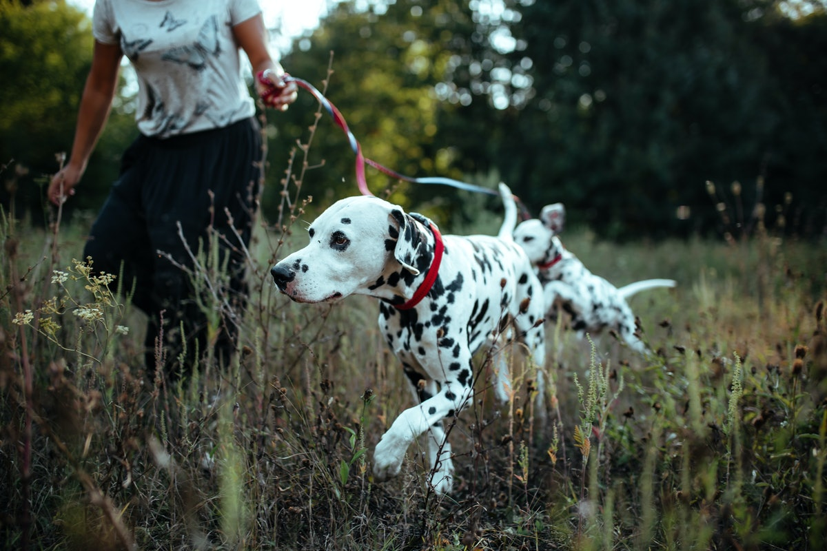 A young Black woman runs in a field with her two Dalmatian puppies while on a fall hike.