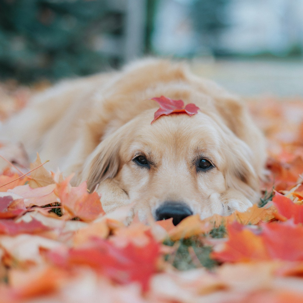 A golden retriever sits in a pile of fall leaves and poses with one on its head.