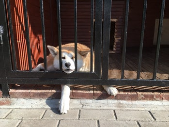 dog lying with head in a fence