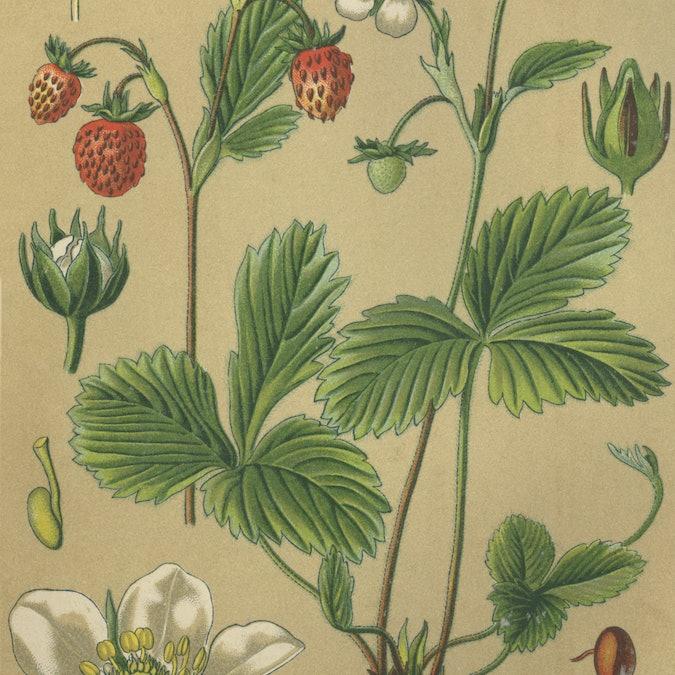 Medicinal plant wild strawberry, wood strawberry, fragaria vesca  /  Heilpflanze Walderdbeere, Erdbe...