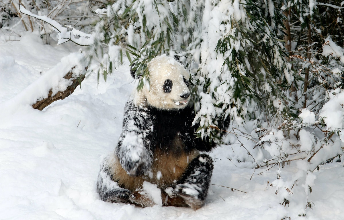 The National Zoo's giant pandas had so much fun in the snow.