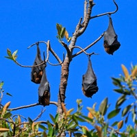 What do bats, pandemics, and climate change have in common?