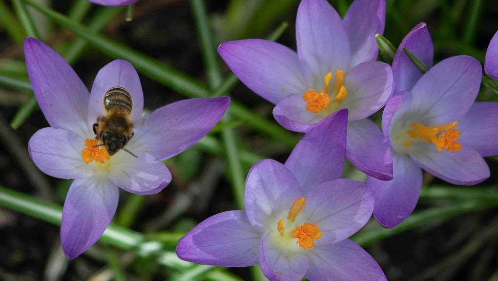 A bee collects pollen from blooming crocus flowers as the sun shines in Berlin's Kreuzberg district on February 23, 2021 as spring arrives with temperatures reaching 18 degrees Celsius in the German capital. (Photo by David GANNON / AFP) (Photo by DAVID GANNON/AFP via Getty Images)