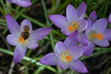 A bee collects pollen from blooming crocus flowers as the sun shines in Berlin's Kreuzberg district ...