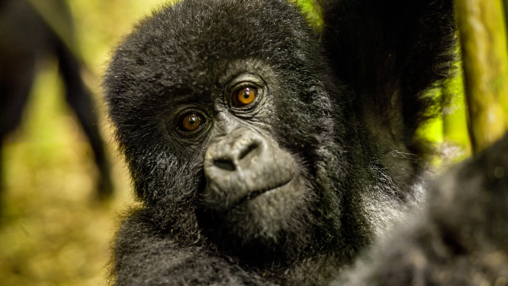 The young mountain gorilla is seen in the forest of Rwanda. It is looking at camera curiously. The sunlight is brightening its face partially. It looks cute. The upper body is seen in the frame. Its armpit is seen. The focus is on it. It is the member of Sabyinyo family. Since the mountain gorillas are endangered species the new born gorillas are very important in Rwanda. Each year in September name giving ceremony is done for baby gorillas born in that year like a type of christening. All world press and and famous names come to this ceremony. The photo of gorillas are shown on a big screen.